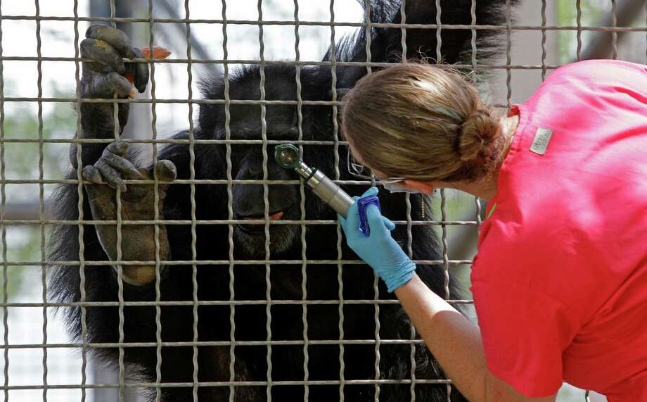 Erica Thiele, chimpanzee trainer, examines the eye of a chimpanzee at MD Anderson Cancer Center's Michael E. Keeling Center for Comparative Medicine and Research, 650 Cool Water, Tuesday, July 2, 2013, in Bastrop. Photo: Melissa Phillip, Houston Chronicle / © 2013  Houston Chronicle