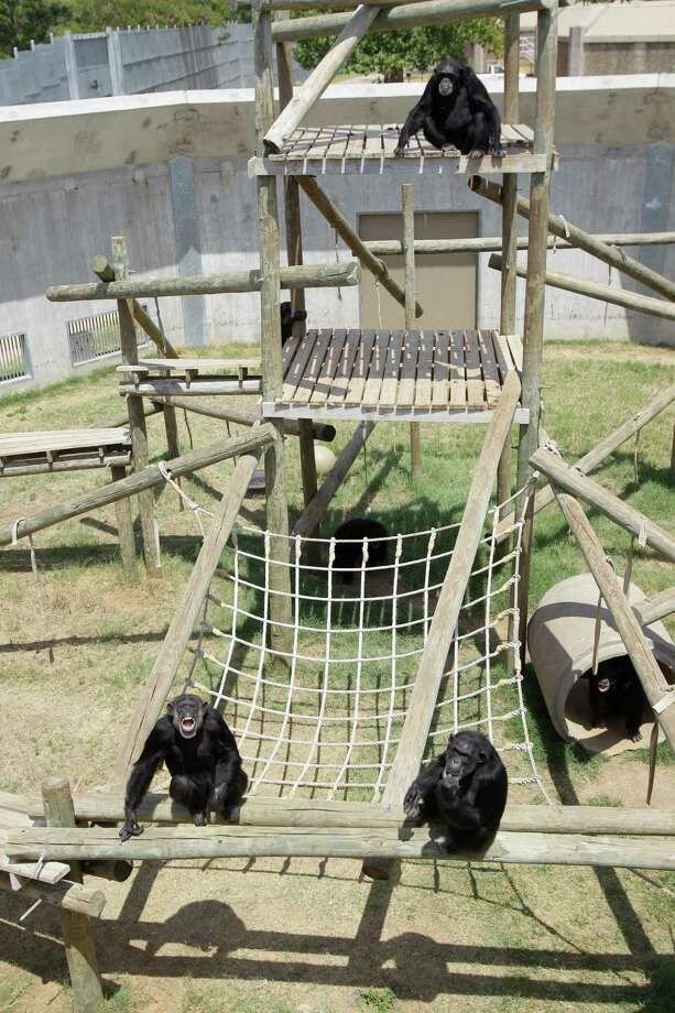 A group of chimpanzee shown at MD Anderson Cancer Center's Michael E. Keeling Center for Comparative Medicine and Research, Tuesday, July 2, 2013, in Bastrop. Photo: Melissa Phillip, Houston Chronicle / © 2013  Houston Chronicle
