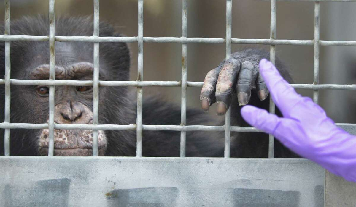 Rachel Haller, a chimpanzee trainer, gives a signal for a chimpanzee named Doda to present its hand for laser treatment of dermatitis on its hand at MD Anderson Cancer Center's Michael E. Keeling Center for Comparative Medicine and Research, Tuesday, July 2, 2013, in Bastrop.
