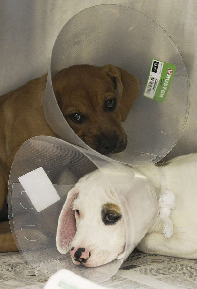 Two puppies wear protective cones while recovering from their sterilization procedures.