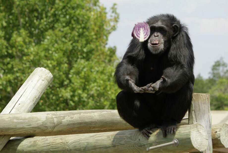 A chimpanzee catches a piece of cabbage at the Keeling Center. Photo: Melissa Phillip, Staff / © 2013  Houston Chronicle