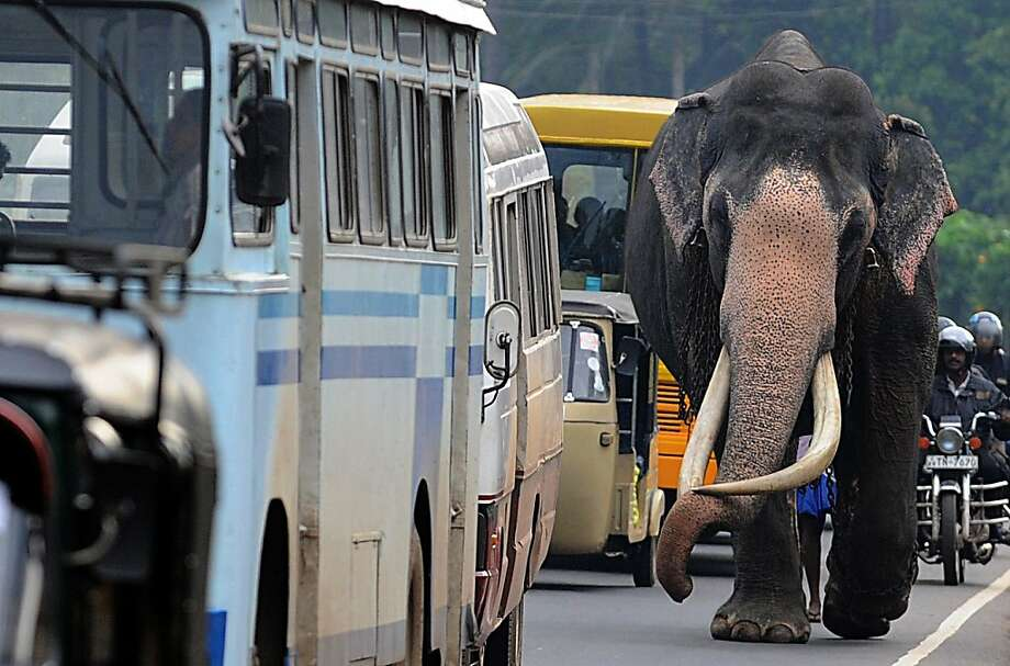 A Sri Lankan elephant walks on a street in Colombo on July 20, 2013. The Sri Lankan elephant is listed as endangered by the International Union for Conservation of Nature (IUCN) as the population has declined by at least 50% over the last three generations, with the species threatened by habitat loss, degradation and fragmentation. AFP PHOTO/ Ishara S. KODIKARAIshara S.KODIKARA/AFP/Getty Images Photo: Ishara S.Kodikara, AFP/Getty Images