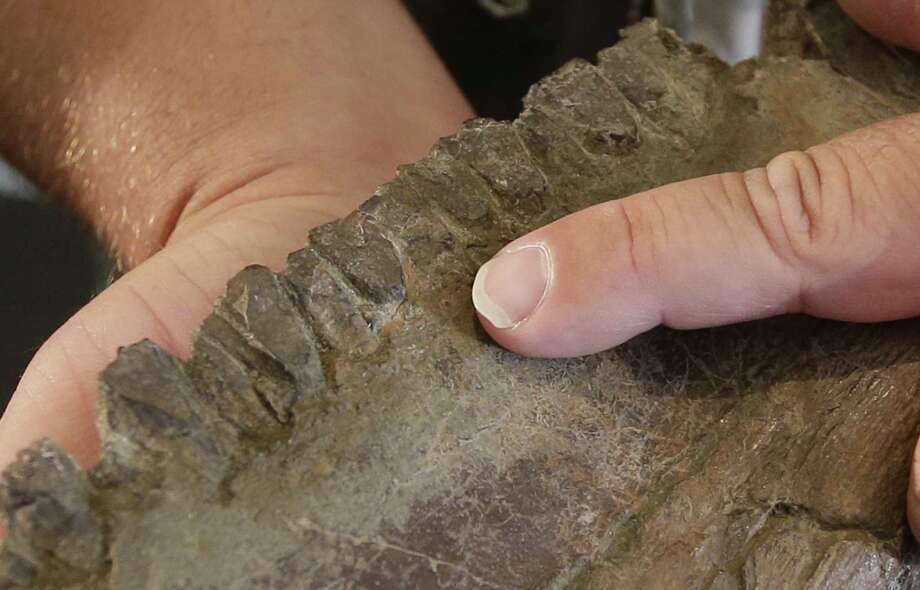 "The teeth of a ""Nasutoceratops titusi"" is shown during a news conference at the Natural History Museum of Utah Wednesday, July 17, 2013, in Salt lake City. Researchers in Salt Lake City say fossil-hunters unearthed the bones of a new type of big-nosed, horned-faced dinosaur in southern Utah.   It's part of the same family as the well-known Triceratops. Photo: AP"