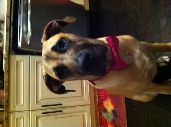 Bister, 6 months, is a Great Dane- Bull Mastiff mix from ...