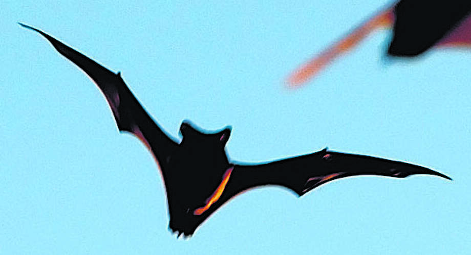 Mexican Free Tailed Bats Are Caught In Midflight As They Emerged From Frio Cave