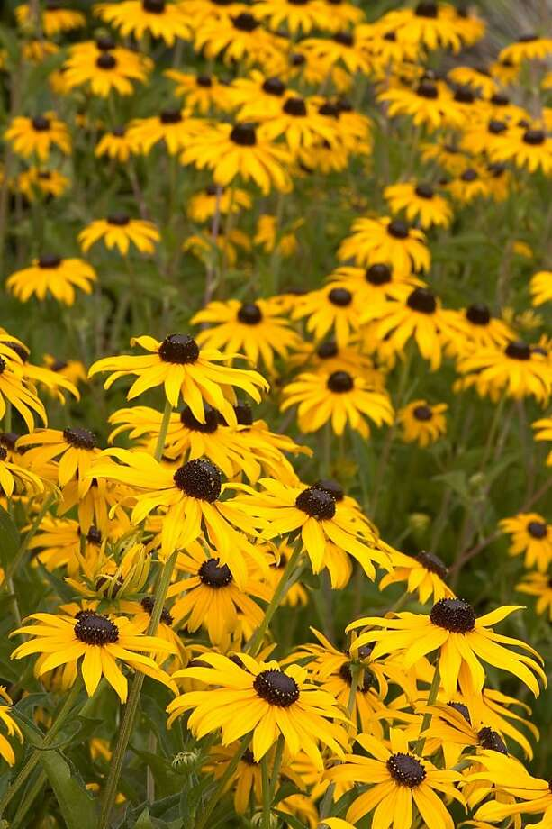Rudbekia Goldsturm Flowers Are Golden Yellow With A Dark Brown Center Photo Monrovia Growers