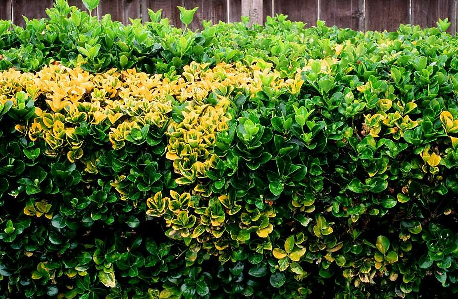Branches with all-green leaves are starting to poke up through the ones with variegated green-and-yellow leaves on this Japanese euonymus shrub, calling for corrective pruning. Photo: Pam Peirce