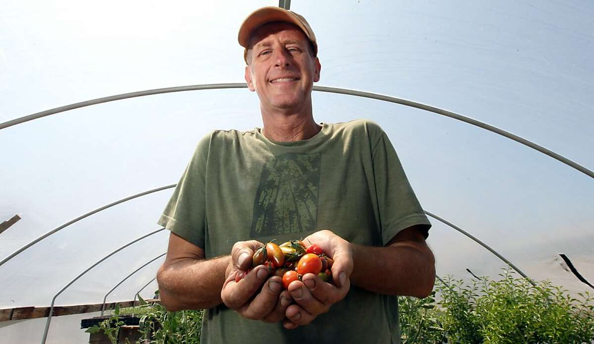 Fred Hemple, who creates unique tomato varieties -- many never before tasted outside the farm and his greenhouse at the Sunol Ag Park checks the first crop of the season Thursday, July 11, 2013, in Sunol, Calif.
