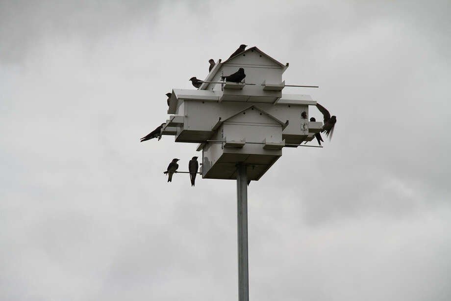 Joeris General Contractors and the Parsons Corporation are working around a scheduled demolition at South San Antonio High School to allow a purple martin colony to migrate to Brazil as part of its annual flight. Photo: Courtesy Photo