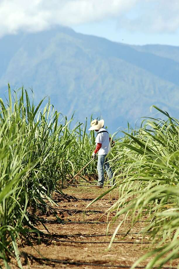 The family-run Ocean Vodka Organic Farm and Distillery in Kula, Maui, celebrated its grand opening in late April and has quickly become a popular stop for cruise passengers and visitors to the nearby, renowned Surfing Goat Dairy, among others. Above, Diana Smith tends to one of the many varieties of sugar cane that go into the gluten-free vodka, which was used to create a vodka pineapple gazpacho when gourmet pop-up Kupu Maui — now a farm-to-table nonprofit — held a sold-out dinner there earlier this year. Photo: Jeanne Cooper, Special To SFGate