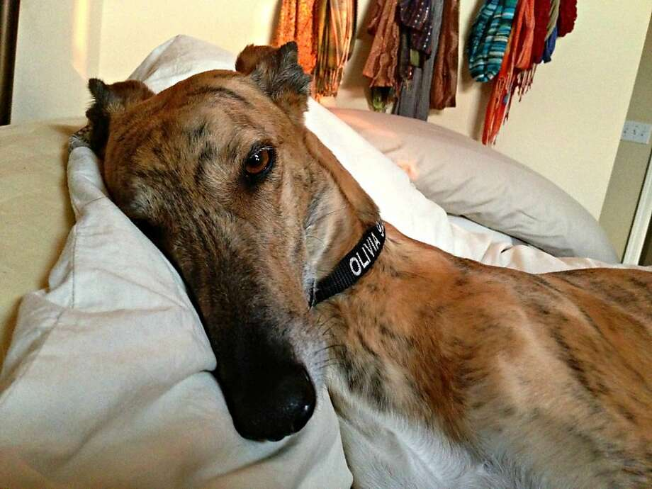 Greyhound racer Olivia has blossomed from a former racetrack commodity into a joyful dog, ready to cuddle on a moment's notice. Photo: Eileen Mitchell