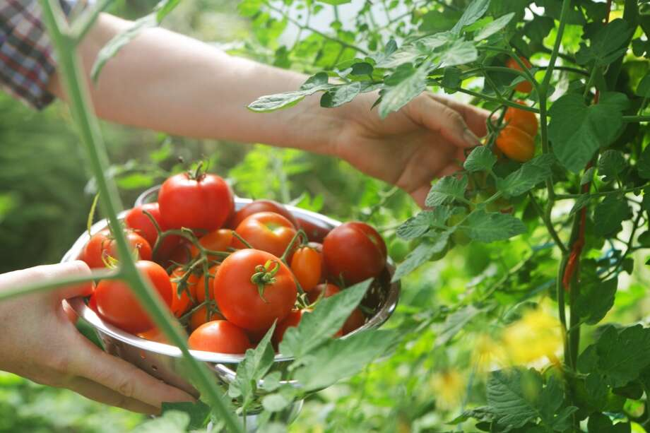 Miss: Ripe, homegrown tomatoes. A big crop of them. With our short summer season, our backyard tomatoes often look like ..
