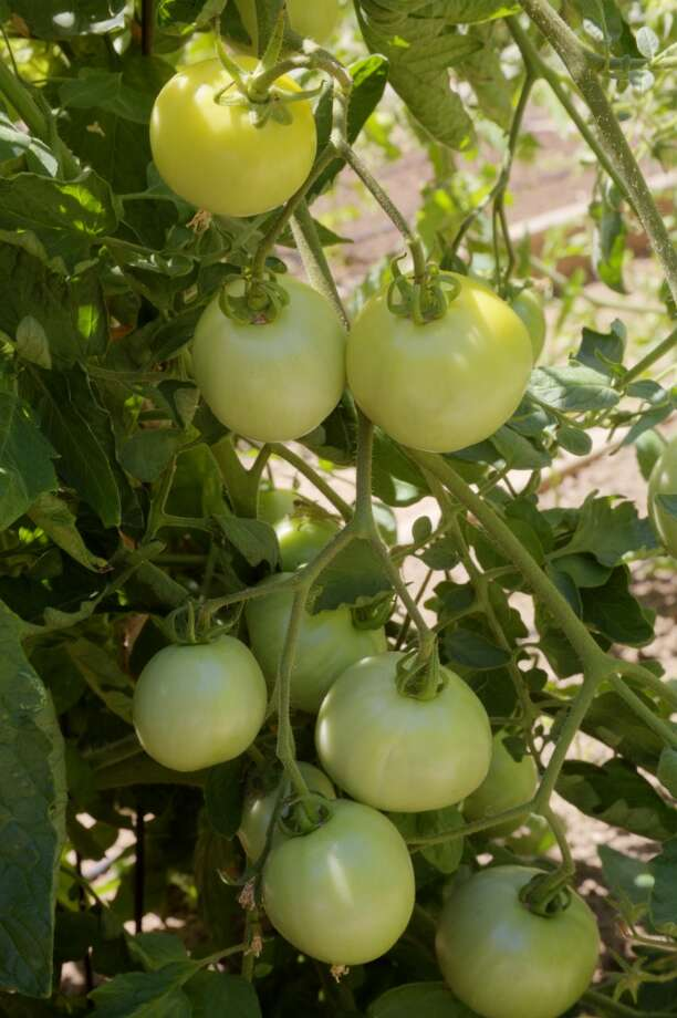 ... this by September. (But save this link for a handy guide on how to ripen green tomatoes).