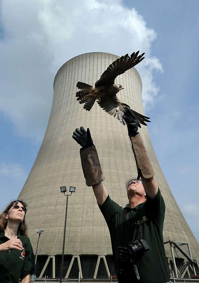 Art McMorris, the Peregrine Falcon Coordinator for the Pennsylvania Game Commission, right, releases a falcon at the Martins Creek Power Plant in Martins Creek, Pa. on Monday, July 22, 2013, as Kathy Uhler watches. The bird was found on July 9 in the parking lot of the power plant not far from a known falcon nest.  Uhler rehabilitated the bird at the Pocono Wildlife Rehabilitation Center and McMorris released the bird.  (AP Photo/Pocono Record, David Kidwell) Photo: David Kidwell, Associated Press