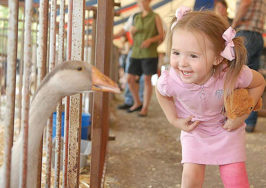 Silly goose! Three-year-old Catherine Smedley cracks up as a goose squawks at her at the Shelby County Fair in Sidney, Ohio. Photo: Luke Gronneberg, Associated Press
