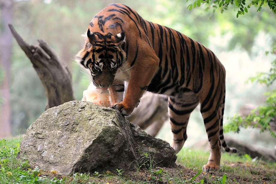 Poultsicle:The La Fleche Zoo in western France treats a Sumatran tiger to a block of chicken-flavored ice. Photo: Jean-Francois Monier, AFP/Getty Images