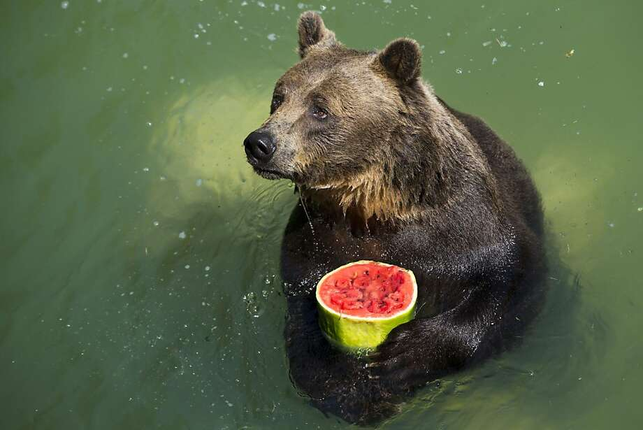 Melon that goes crunch: Sandro holds a frozen watermelon in Rome's Bioparco Zoo. With temperatures expected to exceed 100 degrees, the zoo staff offered animals frozen and refrigerated fruit. Photo: Andrew Medichini, Associated Press