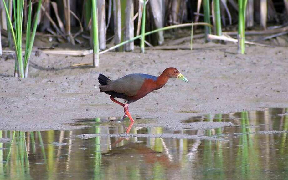 A rufous-necked wood rail, native to the coasts and tropical forests of Central and South America, has been staying at the Bosque del Apache National Wildlife Refuge in New Mexico. Photo: Jeffrey Gordon, Associated Press