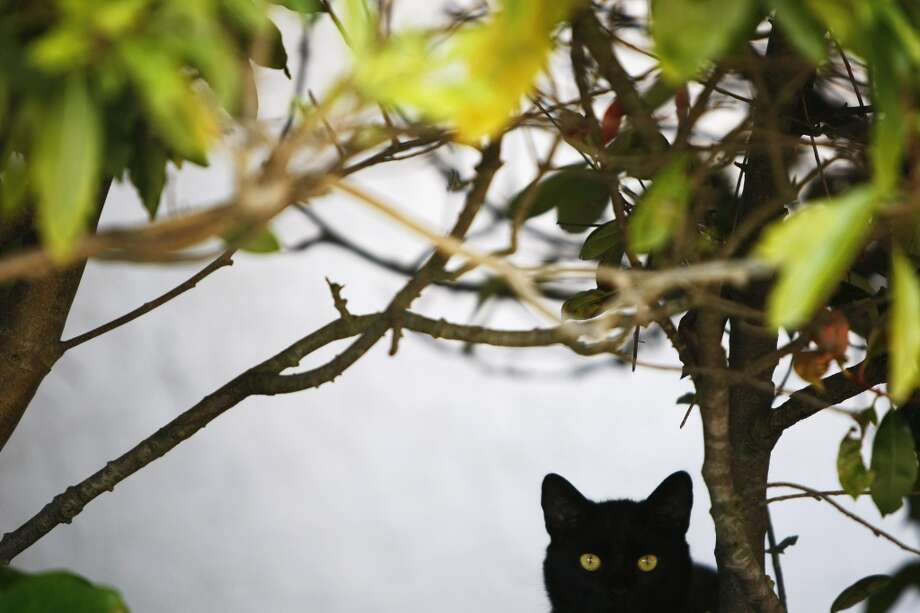 A cat peers out from under some bushes in the yard of a house in the Silverview Terrace neighborhood on Mt. St. Joseph on July 18, 2013 in San Francisco, Calif. Photo: The Chronicle