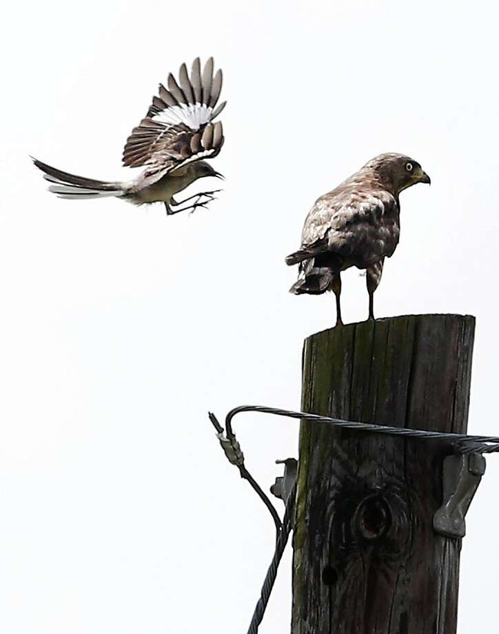 Oh, give it a rest already! A mockingbird harasses a hawk perched on a post in  