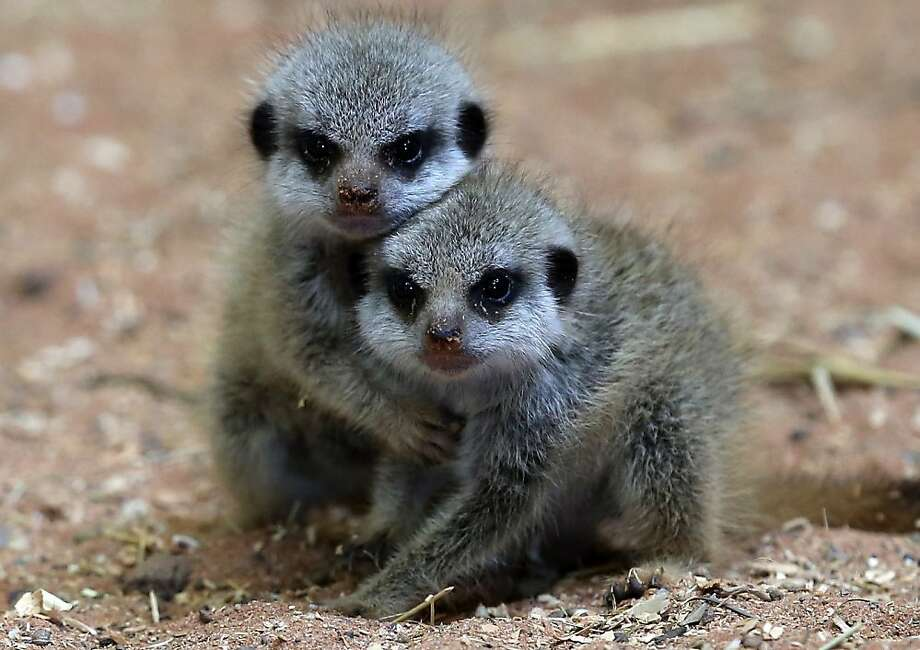 Stay away from my sister: A baby meerkat holds its sibling at Bristol Zoo Gardens in Bristol, England. The zoo welcomed meerkat triplets a month ago. Photo: Matt Cardy, Getty Images