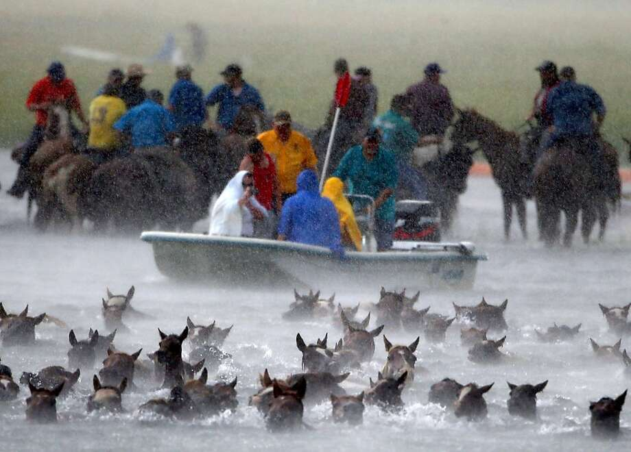 As rain pours down, East Coast cowboys herd wild ponies into the Assateague Channel for their annual swim from Assateague Island to Chincoteague, Va. Every year the ponies are rounded up on the National Wildlife Refuge to be auctioned off by the Chincoteague Volunteer Fire Company. Photo: Mark Wilson, Getty Images