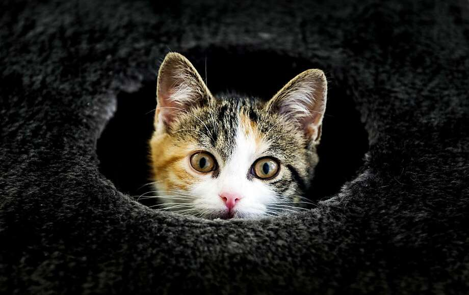 Volcano kitty is about to erupt! This hole at the Stichts Asyl animal shelter in Utrecht, Netherlands, can't contain her for long. Photo: Koen Van Weel, AFP/Getty Images
