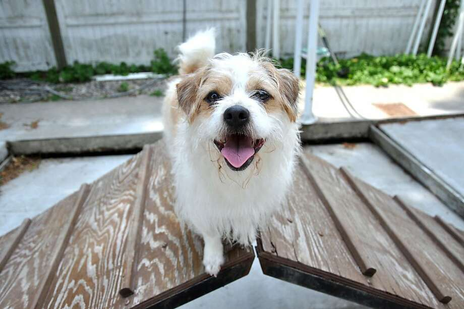 Please adopt me before this drawbridge opens any farther:Adopt-A-Dog in Armonk, N.Y., has a number of cute canines like Charlie Brown, a terrier mix, who need homes. Photo: Helen Neafsey, Connecticut Post