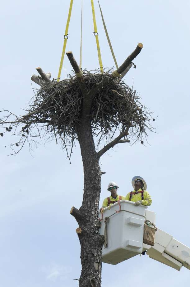 Crews work to relocate a nest to move a pair of bald eagles away from power lines in Humble. (CenterPoint Energy)
