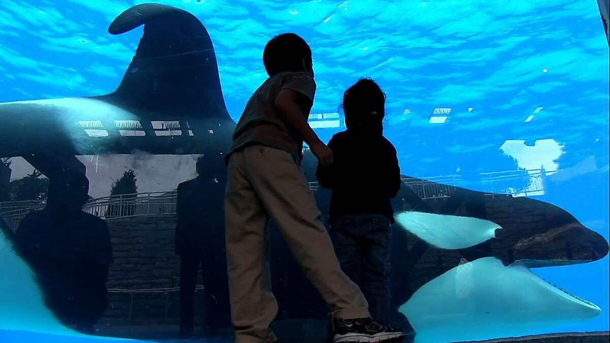 Tilikum in a scene from BLACKFISH, a Magnolia Pictures release.