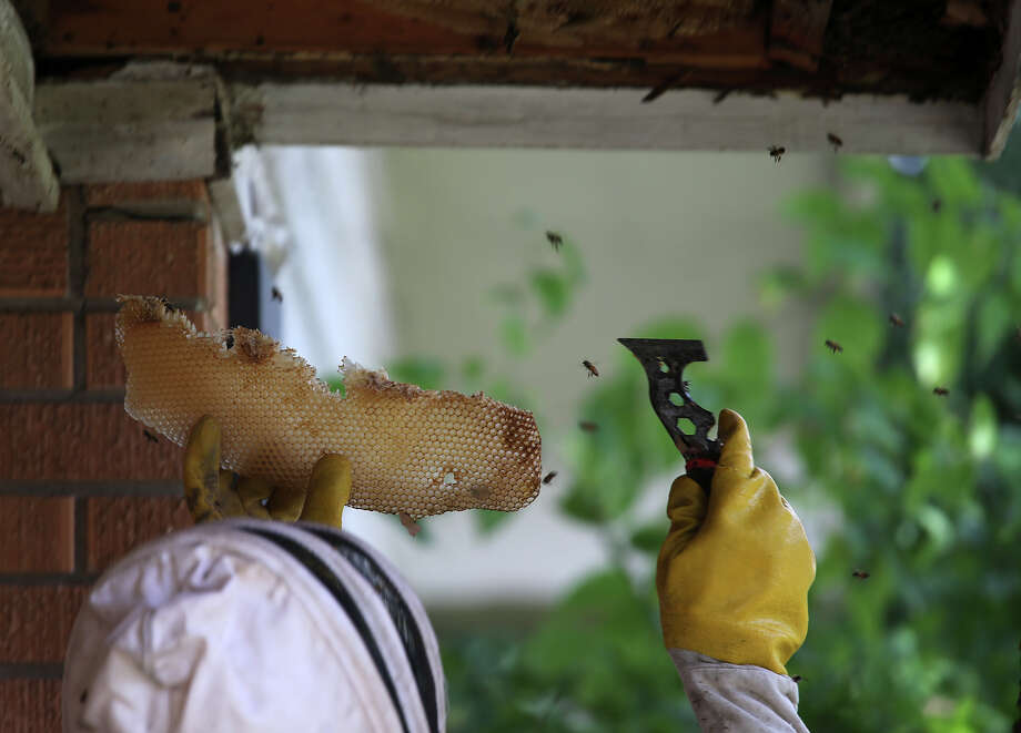 Central Texas Bee Rescue bee wrangler Daniel Foote removes a beehive from a Windcrest house at the 500 block of Waxwing Circle, Wednesday, July 24, 2013. While mowing the front yard, a woman, who resides at the house, was attacked by the bees on Tuesday. Experts from Central Texas Bee Rescue responded to the house and remove the hive. Photo: Jerry Lara, San Antonio Express-News / San Antonio Express-News