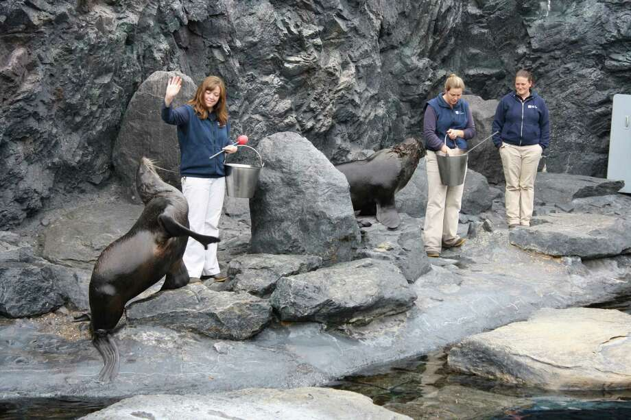 The Dog Days of Summer program at Mystic Aquarium takes place every Monday in August, with special demonstrations on animal training. Above, senior trainer Erin Gibbons works with a northern fur seal. Photo: Contributed Photo