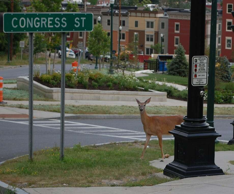 The deer are coming! The deer are coming! Sandra DiNoto found a group wandering around the streets of Troy one morning while running errands last week near the EMPAC concert hall. Funny thing is, within a couple of days she saw the same thing ? a deer family ? in the four corners in Delmar where she lives. (Sandra DiNoto)