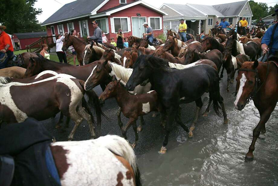 Wild ponies are herded toward the fairgrounds after they swam across the Assateague Channel during their annual swim from Assateague Island to Chincoteague on July 24, 2013 in Chincoteague, Virginia. Every year the wild ponies are rounded up on the national wildlife refuge to be auctioned off by the Chincoteague Volunteer Fire Company. Photo: Mark Wilson, Getty Images / 2013 Getty Images