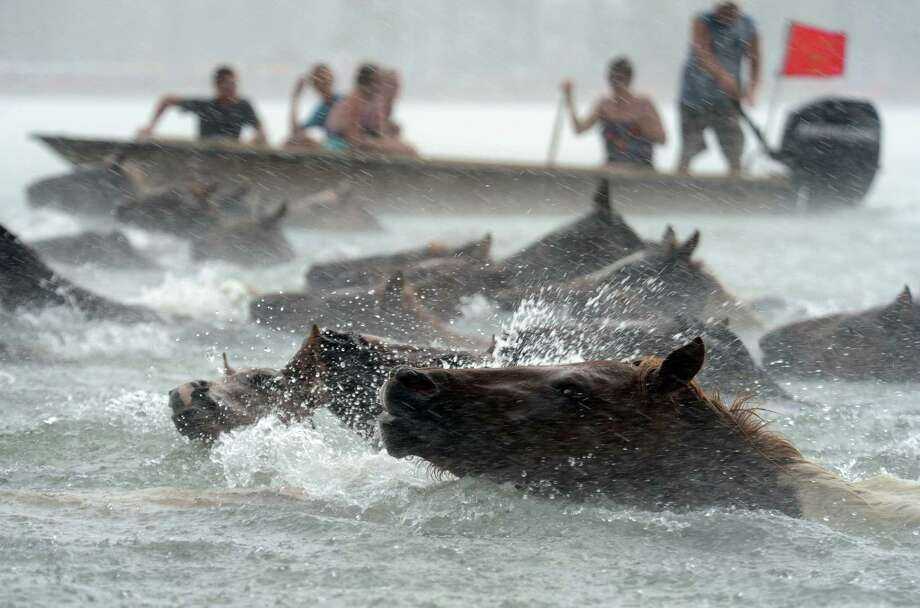 Chincoteague Ponies swim across Assateague Channel in a heavy downpour on Wednesday, July 24, 2013 during the 88th Annual Chincoteague Pony Swim. A portion of the herd will be auctioned on Thursday. Photo: Jay Diem, Associated Press / Eastern Shore News