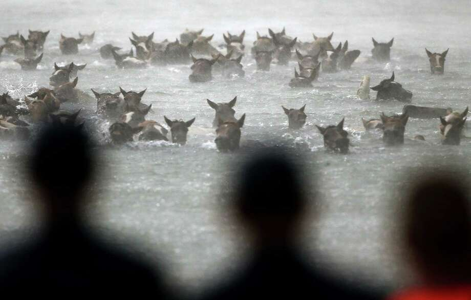 Wild ponies are herded into the Assateague Channel during a rain storm for their annual swim from Assateague Island to Chincoteague on July 24, 2013 in Chincoteague, Virginia. Every year the wild ponies are rounded up on the national wildlife refuge to be auctioned off by the Chincoteague Volunteer Fire Company. Photo: Mark Wilson, Getty Images / 2013 Getty Images