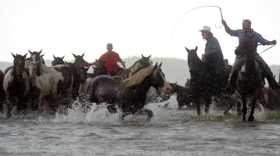 Saltwater Cowboys drive the Chincoteague Pony herd into Assateague Channel in a heavy downpour on Wednesday, July 24, 2013 during the 88th Annual Chincoteague Pony Swim. A portion of the herd will be auctioned on Thursday. Photo: Jay Diem, Associated Press / Eastern Shore News