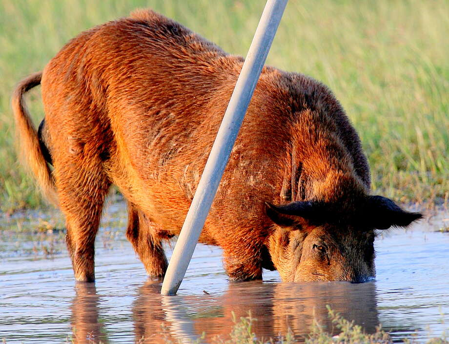 """Described by some wildlife managers as """"four-legged fire ants,"""" Texas'  population of economically and environmentally destructive feral hogs has exploded to an estimated at 2.6 million and continues expanding  despite hunters annuallly taking 750,000 of the swine. Houston Chronicle photo by Shannon Tompkins Photo: Picasa"""