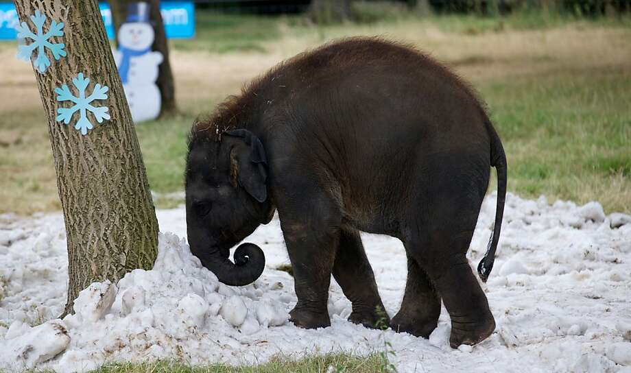 Have a snort:A baby elephant cools his schnozzle at the Whipsnade Zoo near Dunstable, England. The zoo shipped in the snow to cool off the animals during the recent heat wave. Photo: Andrew Cowie, AFP/Getty Images