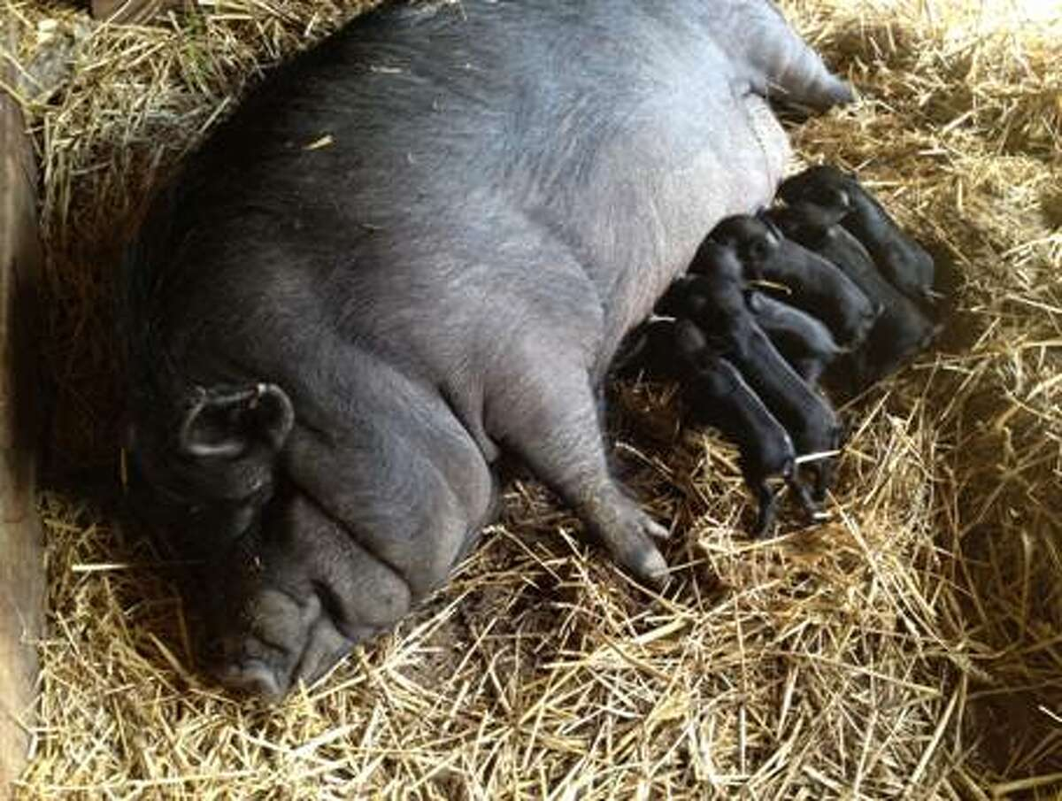 As the world celebrated the birth of the royal baby, George Alexander Louis, on Monday, the Stamford Museum & Nature Center welcomed newborns of their own -- nine piglets.