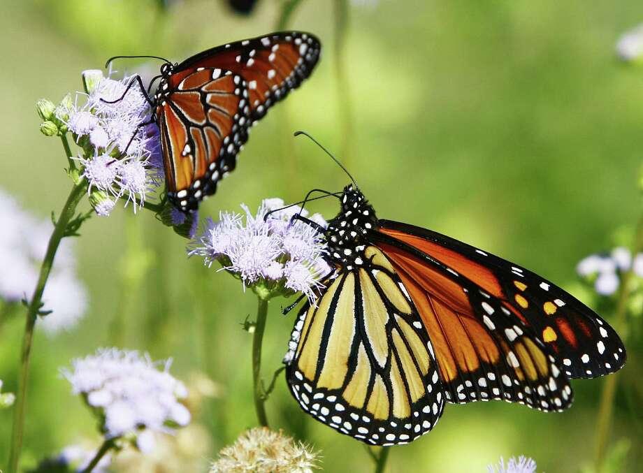 Queen butterflies dance around the fuzzy purple blooms of Gregg's mistflower. Photo: Courtesy Texas A&M University Press