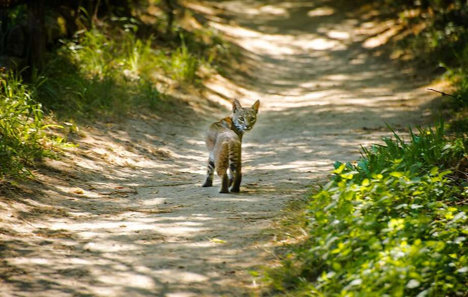 On a trip in search of the mystery bear of the Santa Cruz Mountains, David Cruz instead came upon this surprise bobcat near Felton on the outskirts of Henry Cowell State Park Photo Natures Lantern/David Cruz Photo: David Curz, Natures Lantern