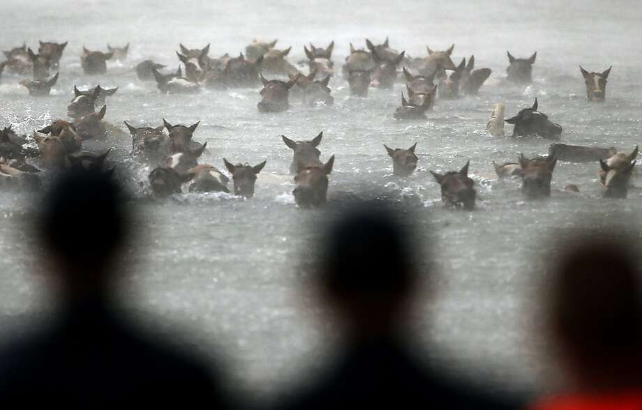 Wild ponies are herded into the Assateague Channel during a rain storm for their annual swim from Assateague Island to Chincoteague on July 24, 2013 in Chincoteague, Virginia. Every year the wild ponies are rounded up on the national wildlife refuge to be auctioned off by the Chincoteague Volunteer Fire Company.  (Photo by Mark Wilson/Getty Images) Photo: Mark Wilson, Getty Images