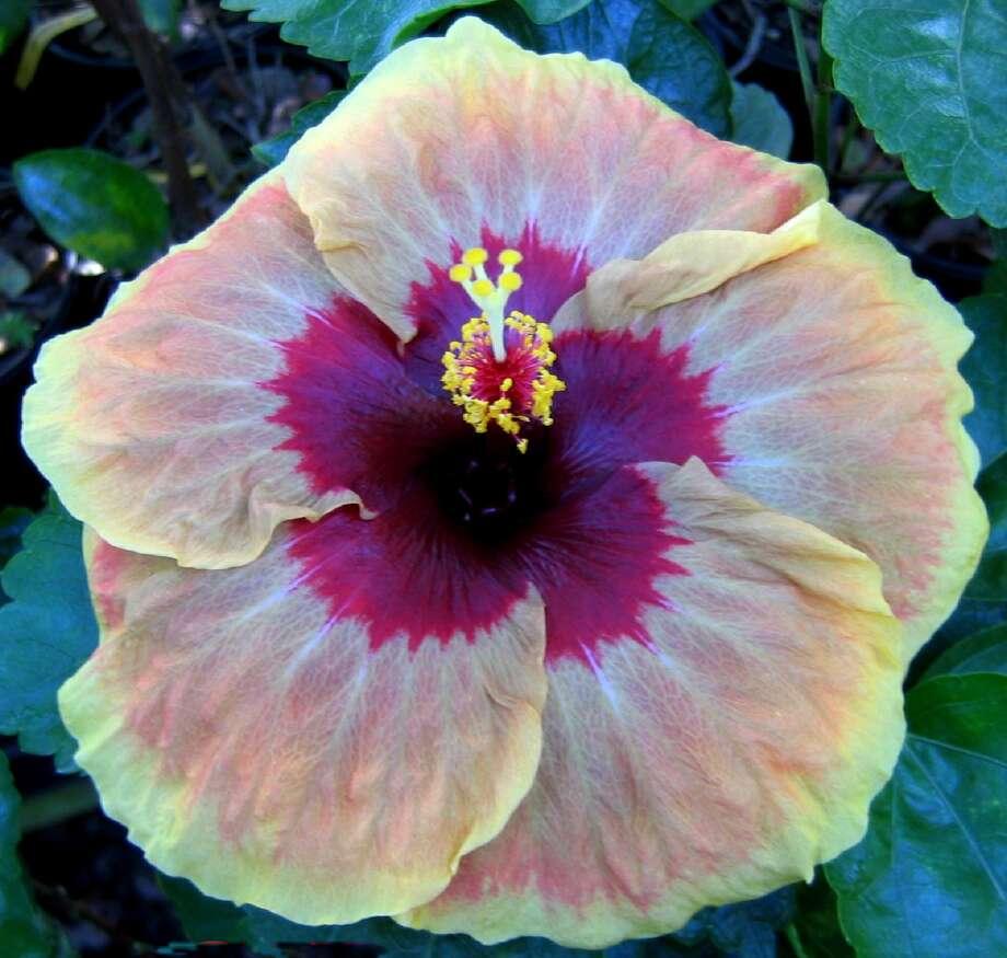 'Herm Geller' hibiscus