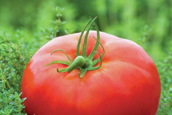 It's time to plant tomatoes for a fall crop.