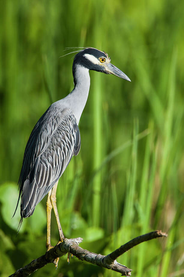 Yellow-crowned night-heron  Photo: Kathy Adams Clark / Kathy Adams Clark/KAC Productions, P O Box 8674, The Woodlands, TX 77387, 281-367-2042, kathyadamsclark@Comcast.net