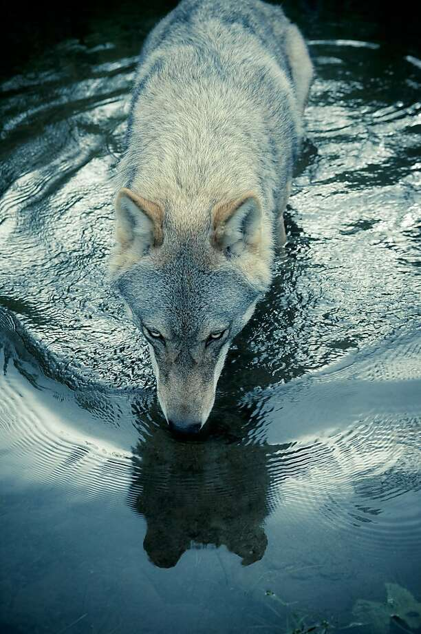 "This shot of a wolf slaking its thirst by Christian Houge - ""Untitled 3"" - is from his painstaking work with wolf packs in Norway. Photo: Hosfelt Gallery"