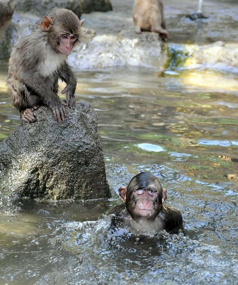Here's to swimmin' with bow-legged simians: A monkey prepares to dive into the primate pool at the Takasakiyama Natural Zoo in Oita, Japan. Photo: Associated Press
