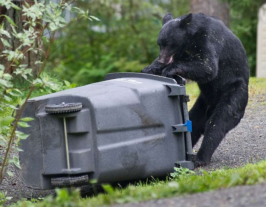 Dumber than the average bear?A black bear gets frustrated when she can't open a trash   container in Juneau, Alaska, that's not bear-proof. Photo: Michael Penn, Associated Press