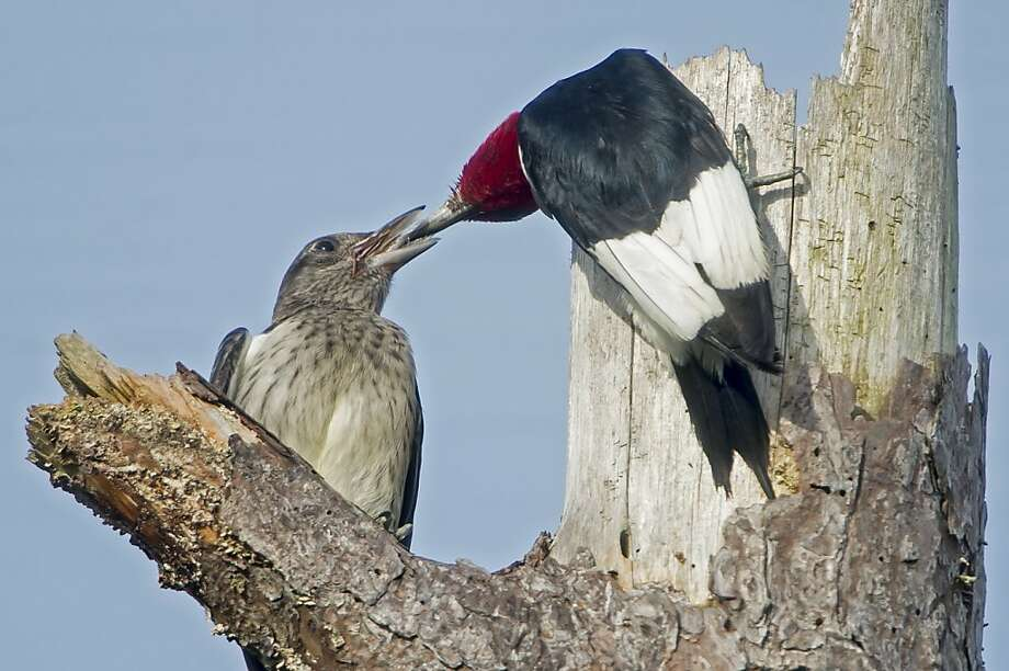 Time to leave the nest: In Newberry, Fla., a Redheaded Woodpecker feeds one of its 